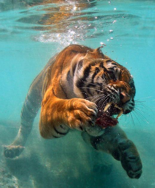 Asombrosa galería fotográfica de tigres bajo el agua 01