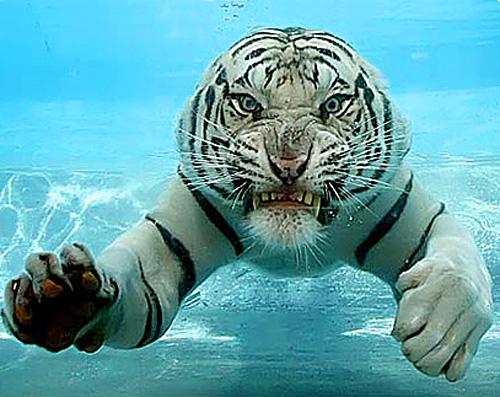 Asombrosa galería fotográfica de tigres bajo el agua 02