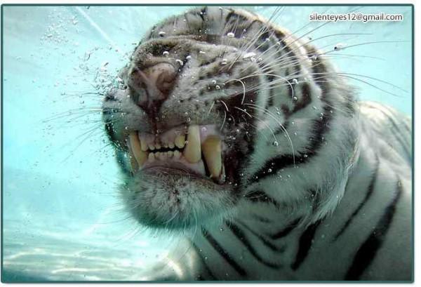 Asombrosa galería fotográfica de tigres bajo el agua 03