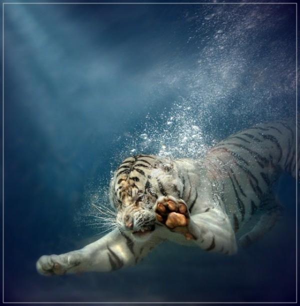 Asombrosa galería fotográfica de tigres bajo el agua 07
