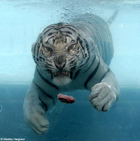 Asombrosa galería fotográfica de tigres bajo el agua 12
