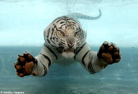 Asombrosa galería fotográfica de tigres bajo el agua 15