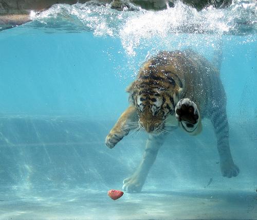 Asombrosa_galer_a_fotogr_fica_de_tigres_bajo_el_agua_04
